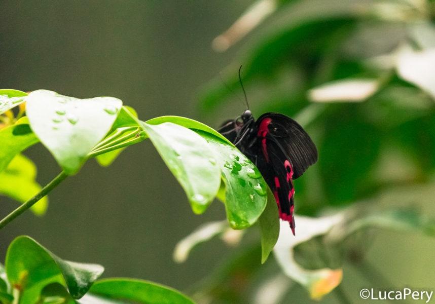 farfalle-di-bordano